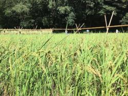 稲刈り_400.png